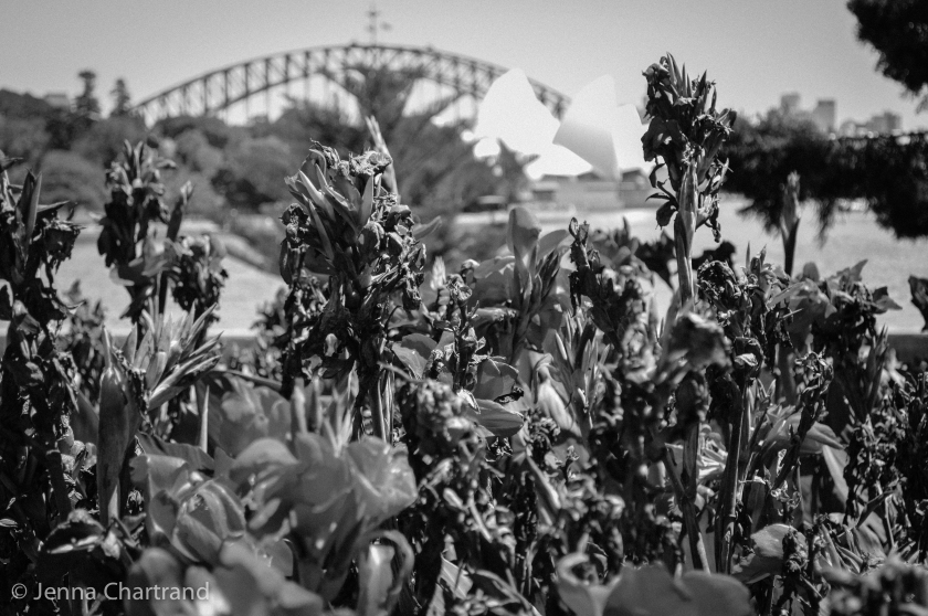 A distant view of the Sydney Opera House and the Harbour Bridge through some flowers